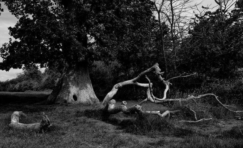 Oak Tree Wood