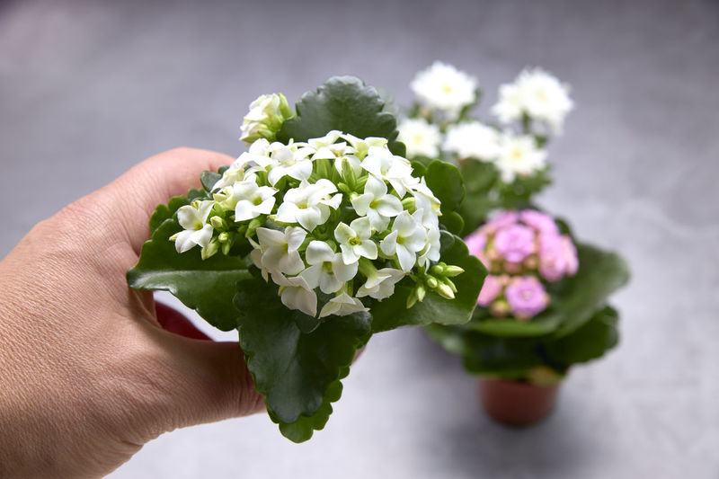Close-up of hand holding bouquet of flowering plant