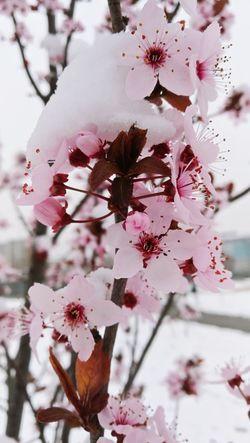 Lovely spring flower 😍😍😍 Pink Flower Spring Flowers Springtime Winter Snow Pink Flower Head Tree Flower Branch Snow Winter Springtime Pastel Colored Plum Blossom Pink Color
