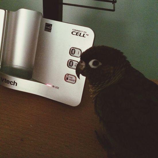 Peanut's expecting a call. Animals Birds Conure Greencheekconure