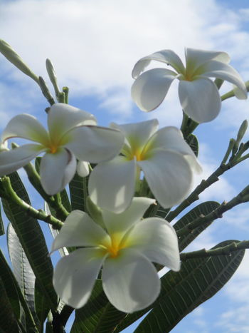 Plumeria Flowers Plumeria Blossoms Beauty In Nature Focus On Foreground No People Plant Day Nature Close-up Outdoors Summer ☀ Plumeria Flower Collection Flowers,Plants & Garden