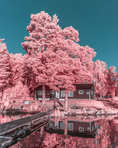 Pink cherry blossom tree against building