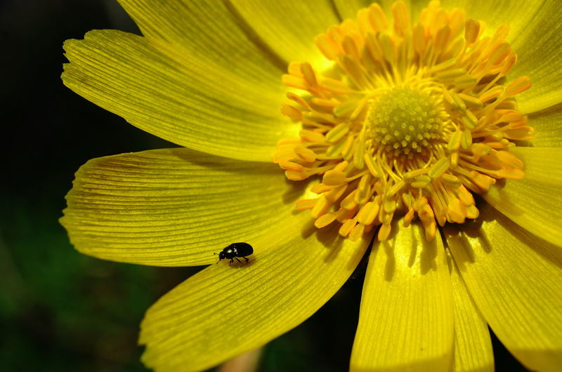 Blooming Close-up Flower In Bloom Insect Plant Yellow