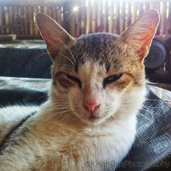 Cat Discoverphilippines Travelasia Itsmorefuninthephilippines Wowphilippines cat feline pusa meow miming natgeo animalkingdom animal phonephotography samsung samsungphotography samsungasia