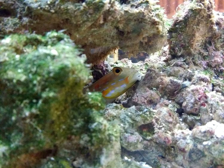 diamond goby Marine Fish Hide And Seek Goby Aquarium Underwater