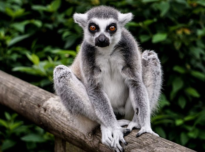 Portrait of ring-tailed lemur sitting on fence