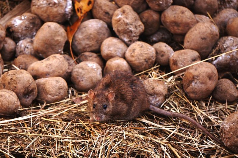 High angle view of rat on dung heap