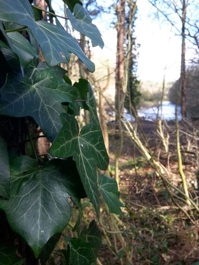 Beautiful Nature Ivy Trees Depth Of Field Macro Close Up Harrogate Nidd Gorge