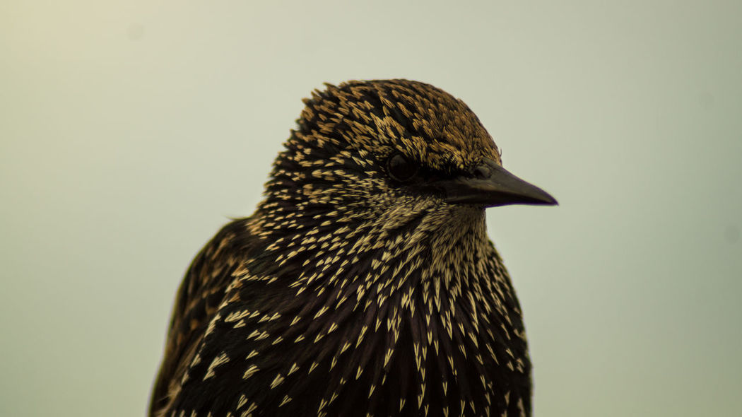 Sturnidae Sturnus Vulgaris Animal Themes Animal Wildlife Animals In The Wild Bird Close-up Day Gregariousness Nature No People One Animal Outdoors Perching Starling Uk