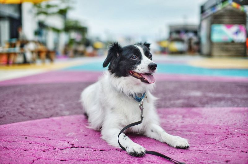 Close-up of dog looking away while sitting on road