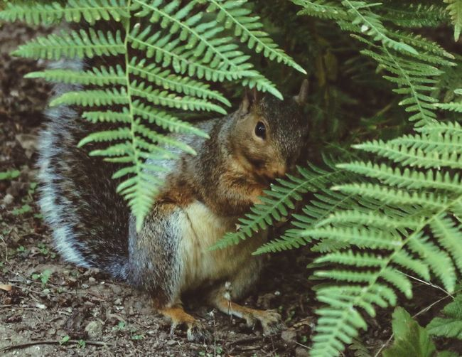Animal No People Green Color Nature Animal Wildlife Animal Themes One Animal Tree Close-up Plant Day Animals In The Wild Growth Outdoors Focus On Foreground Vertebrate Fern Plant Part Squirrel