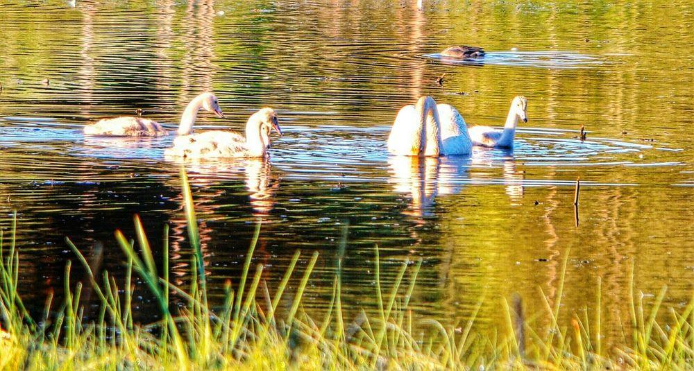 Swans Littoisten Järvi Bird Beauty In Nature No People Sunlight