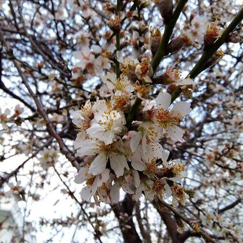 Istanbul Maltepe Yalancıbahar çiçekaçan Agaclar Yalancıbaharınyalançiçeği Sabahgunesi Bulutlar Mavigökyüzü