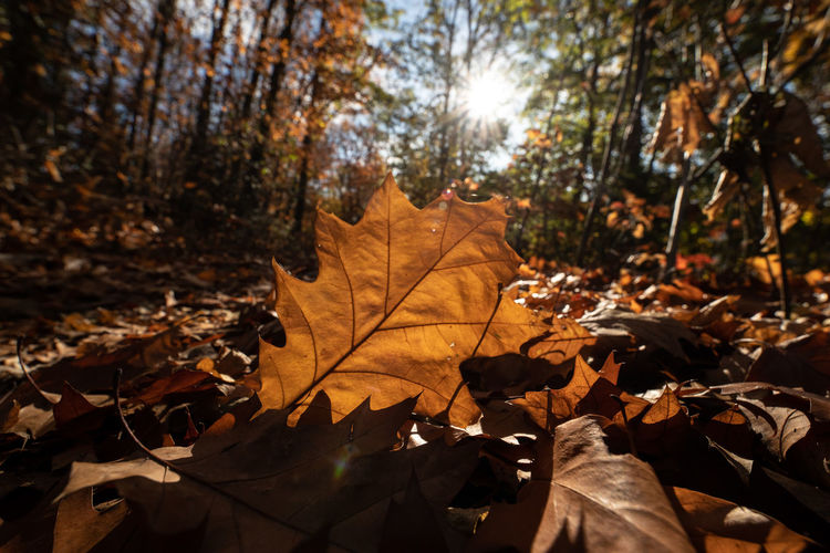Plant Part Leaf Autumn Change Tree Nature Plant Dry Leaves Sunlight Close-up Day Land No People Beauty In Nature Orange Color Falling Maple Leaf Forest Outdoors Natural Condition Autumn Collection Fall Dried