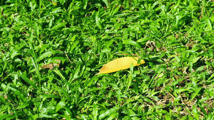 Texture of green grass and dry leaf on the garden ground outdoor and daylight and top angle view. Grass Close-up Day Grass; Leaves; Autumn; Background; Fall; Green; Leaf; Above; Floor; Yellow; Ground; Nature; Texture; Season; Park; Lawn; Red; Orange; Outdoor; Garden; October; Colorful; Bright; Plant; Space; Nobody; Field; View; Brown; Copy; Vibrant; Foliage; Meadow; Col Green Color Leaf Nature No People Outdoors