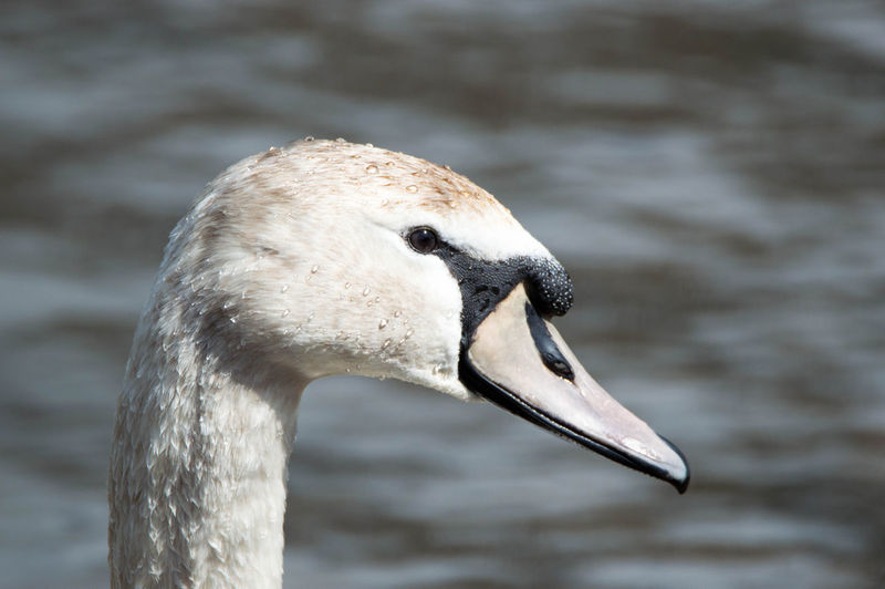 Close-up of wet swan in lake