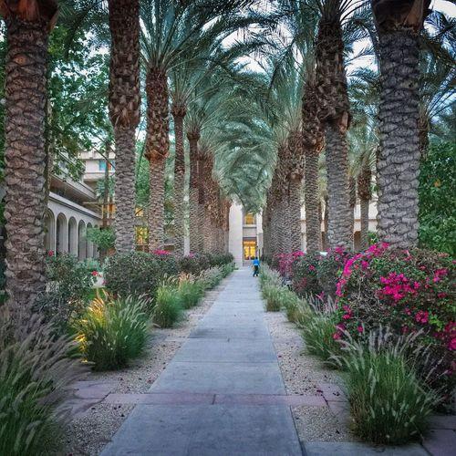 Desert Palm Springs CA. Palm Trees