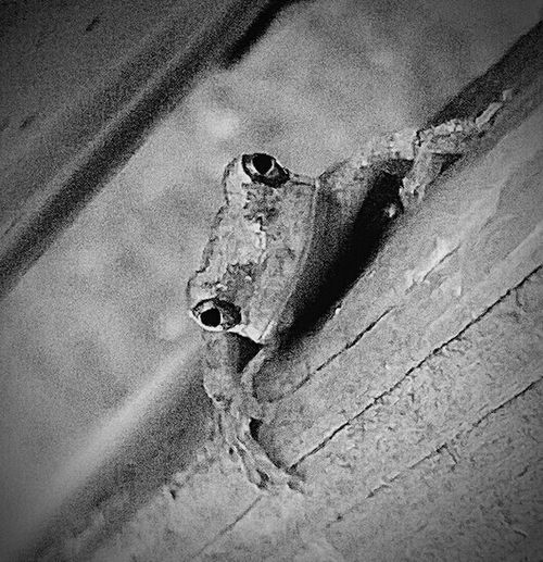 Better Look Twice Repost Reedit Small Frog Balck And White Blackandwhite Photography Black And White Collection  Samsung Galaxy S6 Edge Cellphone Photography Animal_collection Wild Creatures Outdoor Photography I Love All Creatures Great And Small Details Textures And Shapes My World ❤ Macro Beauty