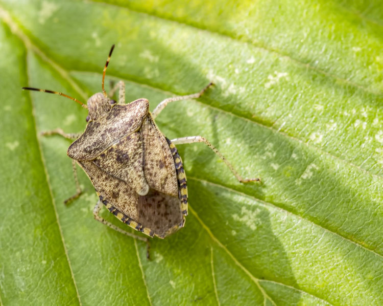 Brown Marmorated Stink Bug Animal Themes Animal Wildlife Animals In The Wild Brown Marmorated Stink Bug Close-up Green Color Halyomorpha Halys Insect Leaf Nature No People One Animal Outdoors