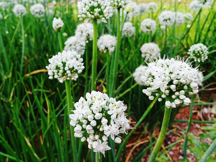 High angle view of white allium flowers growing on field
