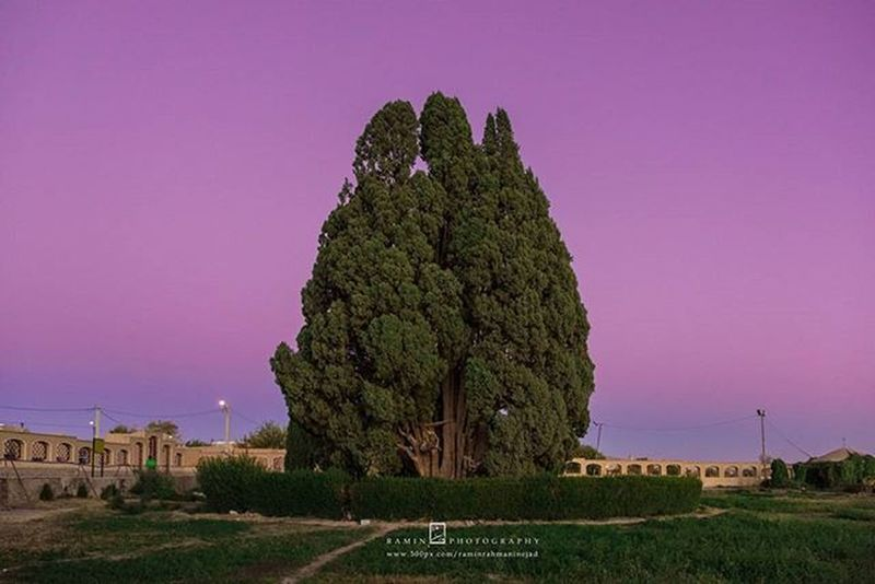سرو ابرکوه با عمر تقریبی ۴۰۰۰ سال (به گفتی برخی منابع 2500 سال تخمین زده اند) به عنوان پیرترین درخت ایران و احتمالاً آسیا و سومین درخت پیر جهان به حساب میآید. سَرْو اَبَرکوهیکی از آثار طبیعی ملی ایراناست . این درخت که در شهر ابرکوه ( ابرقوه ) قرار دارد یکی از پیرترین موجودات زنده دنیا است. محیط تنهٔ این درخت در روی زمین یازده و نیم متر است و بلندای آن بین ۲۵ تا ۲۸ متر برآورد شده است. حمدالله مستوفی در کتاب نزهت_القلوبکه در سال ۷۴۰ قمری تألیف شده درباره ابرکوه مینویسد: «در آنجا سروی است که در جهان شهرتی عظیم دارد...». دانشمند روس الکساندروف، عمر این سرو را بیش از ۴٬۰۰۰ سال میداند. برخی از افسانهها، کاشتن آنرا به زرتشت نسبت میدهند و برخی نیز به یافث(پسر نوح). ----- با حضور دوست عزیزم @kamran67