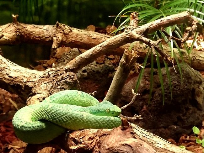 Snake Green Snake Reptiles Reptile Photography Animal Themes Living Things Spiral Amazing Dangerous The Nature Photographer - 2016 Eyeem Awards Nature No People Harmony EyeEm Gallery EyeEm Best Edits Stand Out Animal Life Nature's Diversities Silent Moment Creative Photography Hugging A Tree Inspired San Diego Zoo San Diego