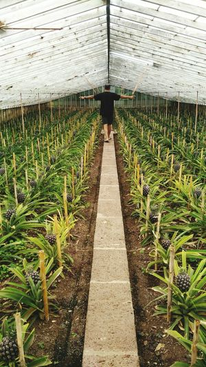 Agriculture Nature Green Color Growth Field Day Beauty In Nature Freshness Plant Grass No People Pineapple Pineapple Plant Pineapple Fields Pineapple Plantation Agricultural Land Outdoors