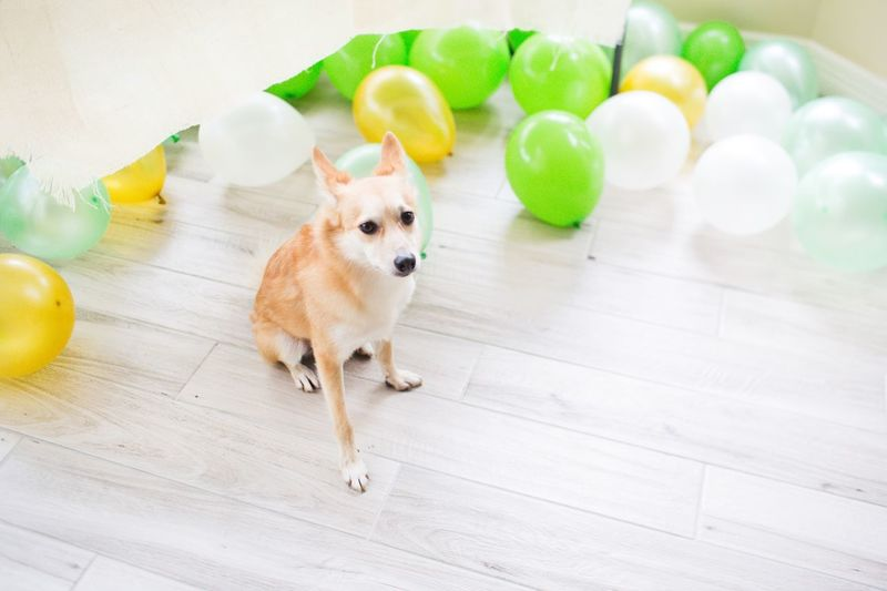 Roscoe the Shiba Inu enjoying a Baby Shower. festive Pet Portraits St Patrick's Day Festive Portrait Gender Reveal Baby Shower Decoration Partying Party Hard Party Animal Pet Model Modeling Not Impressed Deadpan Dogs Of EyeEm Party Decoration Party Time Party - Social Event Baby Shower Balloons Green Shiba Inu Pets Dog One Animal Domestic Animals Balloon Indoors  Animal Themes Hardwood Floor Looking At Camera Puppy