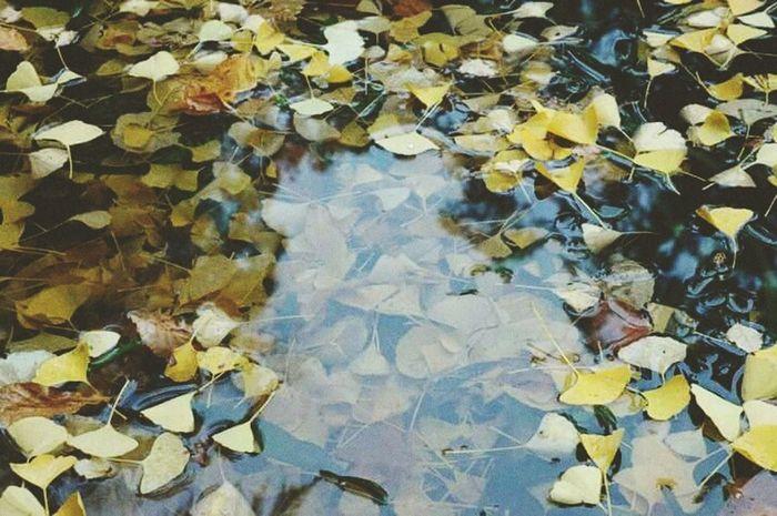Maidenhair Tree Gingkobiloba Yellow Leaves Fall Autumn Fan Water