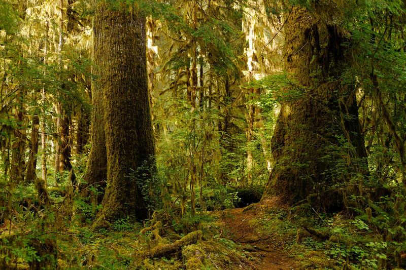 Forest Hoh Rain Forest Hoh River Rain Forest National Park Nature NPSC Olympic National Park Travel Tree Washington
