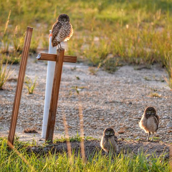 Burrowing Owls Outdoors Nature Three Animals The Great Outdoors - 2016 EyeEm Awards The Essence Of Summer Animal Themes Natural Pattern No People Birds Owls Family Showcase June