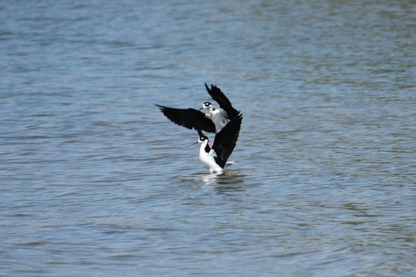 EyeEm Selects black necked stilt Bird Spread Wings Animal Wildlife Black Color No People Nature Water Flying Outdoors Day