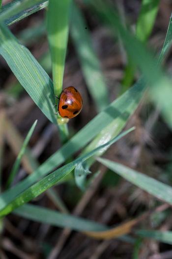 Bug Grass Ladybirds 🐞 Ladybug Nature Nature Photography Beauty In Nature Bug Life Bugslife Fauna Flora Flora And Fauna Ladybird Macro Macro Life