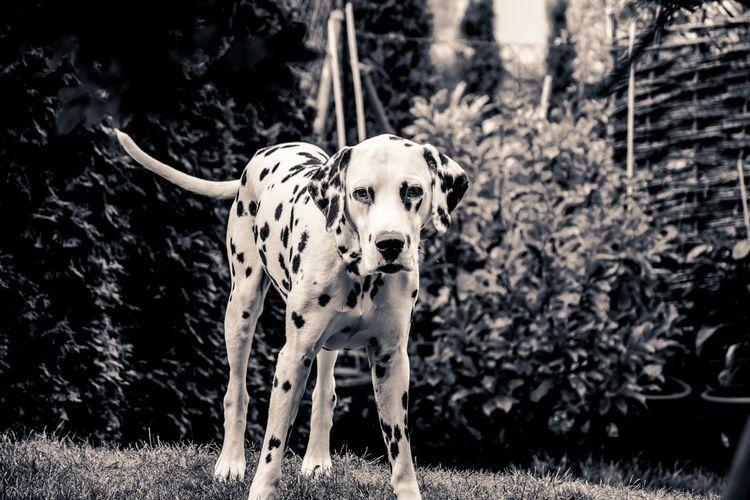 Dalmatian Standing On Field In Garden