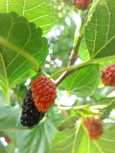 Fruit Leaf Food And Drink Growth Close-up Green Color Food Red Freshness Healthy Eating Nature Day Beauty In Nature Outdoors Berry Focus On Foreground Bunch Growing Moras Rojas Y Negras Red And Black
