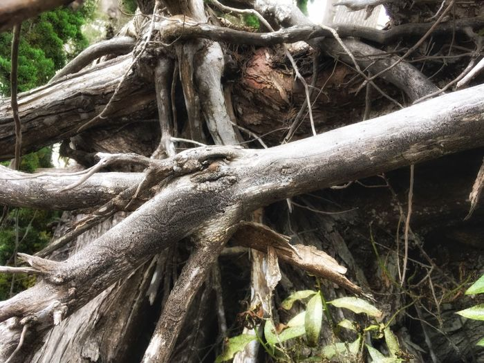 Root Tree Trunk Tree Growth Nature Day Outdoors No People Branch Close-up Forest Plant Beauty In Nature Dead Tree