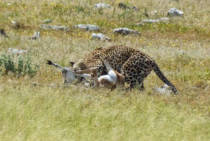 Hunting Leppard Leopard Nature Springbok End Of Life... End Of Life