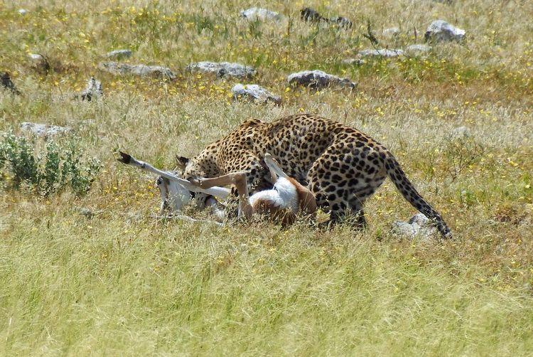 Leopard hunting springbok on grassy field