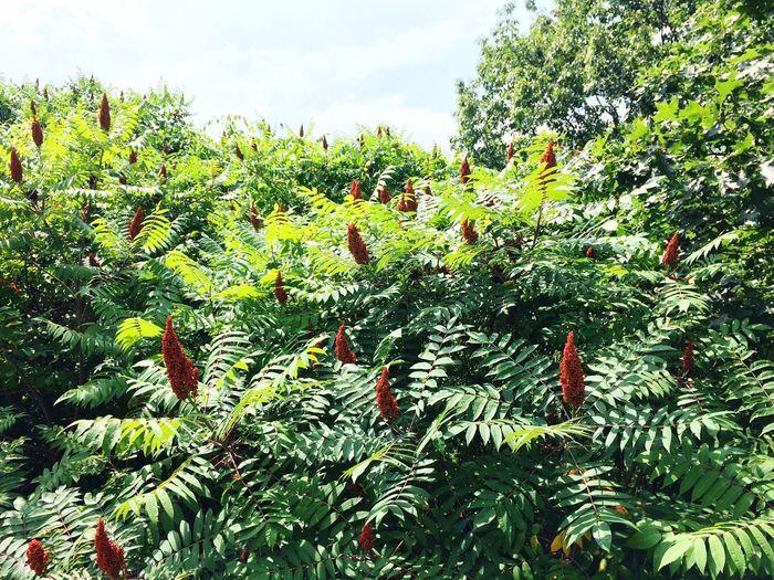 Smooth sumac shrub! First Eyeem Photo Nature Sumac Tree