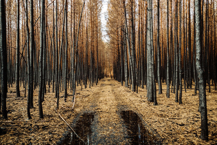 A forest after the fire in summer 2018 near Berlin Wood Nature Tree Day Woods Outdoors Forest Yellow Burned Plant Land Tree Trunk Forest Fire Growth Forestwalk Environment Nature_collection Beauty In Nature WoodLand Trunk No People Tranquil Scene After Fire Pine Woodland Scenics - Nature The Photojournalist - 2019 EyeEm Awards