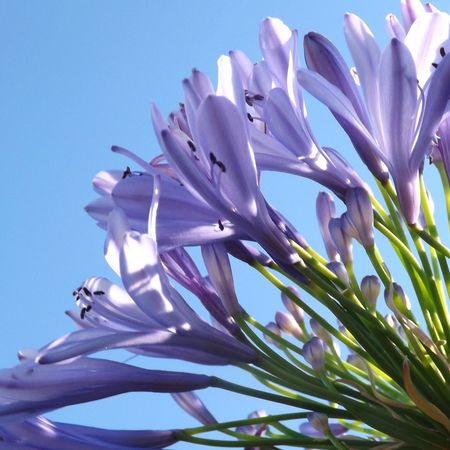 No People Flower Petal Fragility Nature Beauty In Nature Growth Day Close-up Outdoors Freshness Flower Head Clear Sky Agapanthus