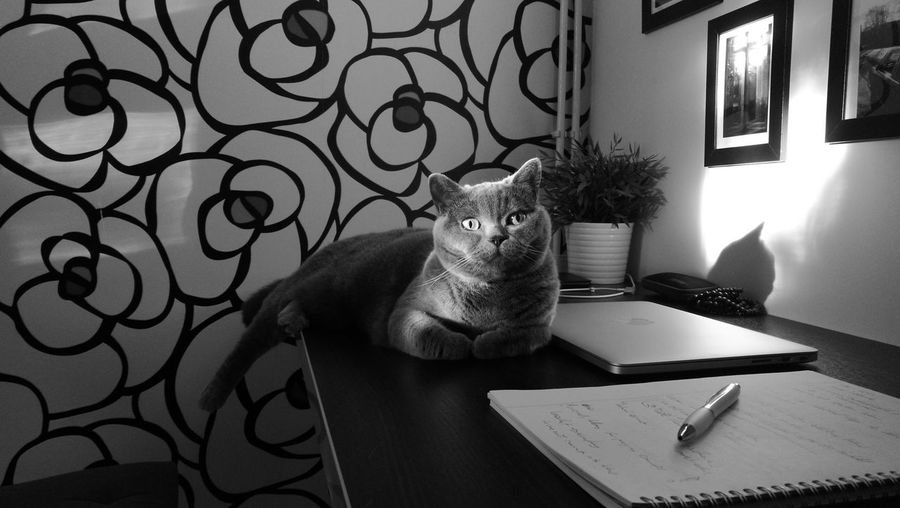 My Cat ❤ No People Shades Of Grey Table Indoors  Desk Home Interior Mac Beautiful Girl So Sweet ♥ CatPhoto🐱 Domestic Cat