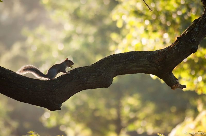 Side view of squirrel on branch at bradgate park