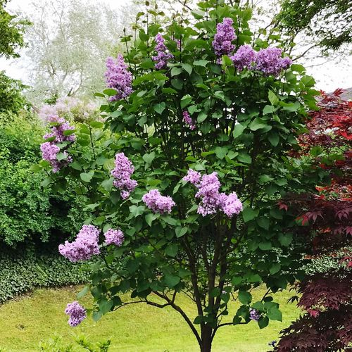 Garden summer lilac blue our outdoor no people Flower Nature Pink Color