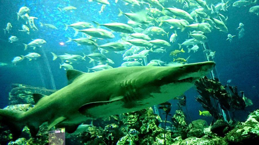 鮫、水族館、東海大学、遠泳、