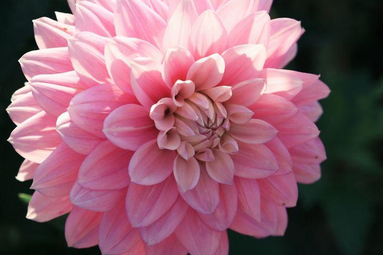 Close-up of pink dahlia