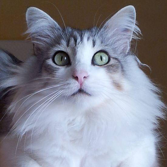 Oscar. Cat♡ Pet Lovely