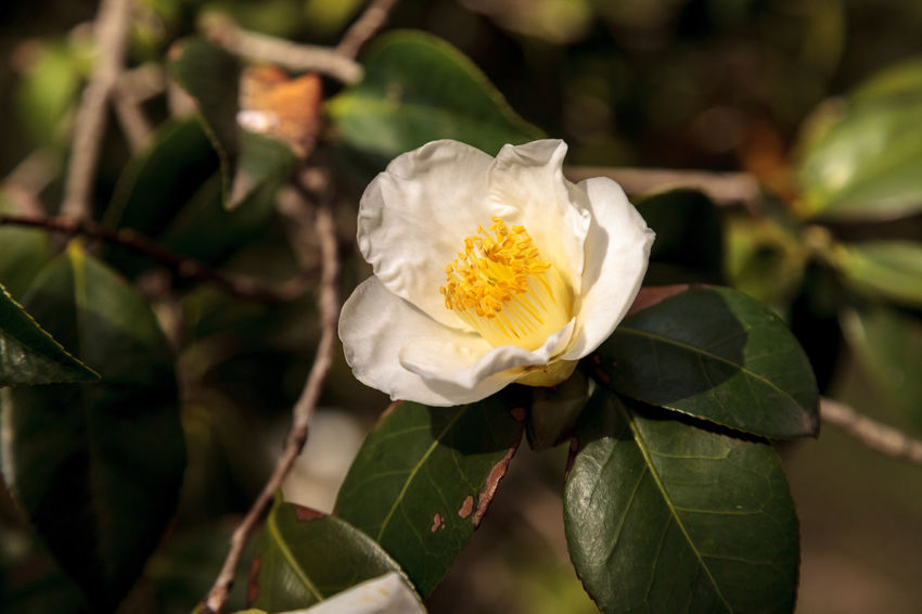 Camellia japonica white flower, white bouquet, blooms in Los Angeles, California, United States Beauty In Nature Camellia Japonica Camilla Camilla Flower Close-up Day Flower Flower Head Fragility Freshness Nature No People Outdoors Plant White Bouquet White Flower