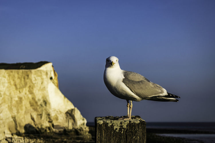 Seagull perching on wooden post against sky
