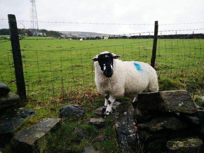 Schaf  Sheep